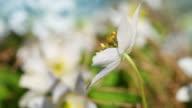 Anemone nemorosa. White flowers waving on wind video