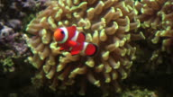 Anemonefish, Damselfish, Percula Clownfish in anemone, HD video