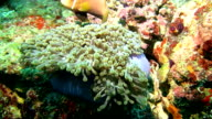 MS Anemonefish In Coral Sea video
