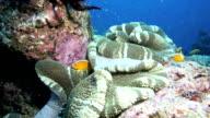 Anemonefish (Damselfish) or clownfish on anemone video