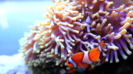 Anemonefish video