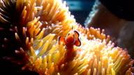 Anemonefish,nemo fish video