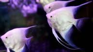 Angelfish video