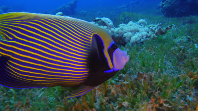 Angelfish video
