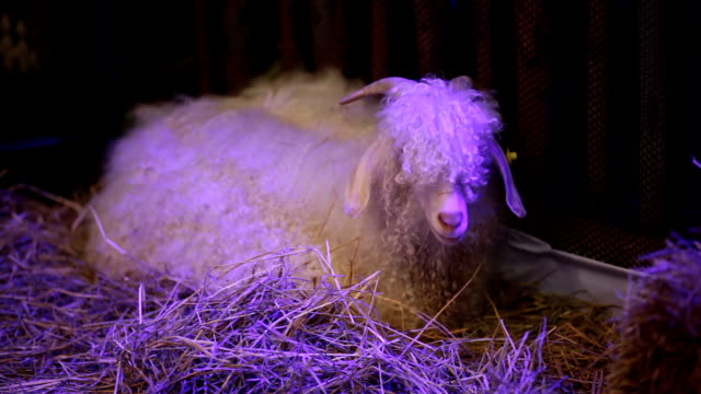 Angora Goat sit on straw, science names 'Fauns' or 'Satyr' video