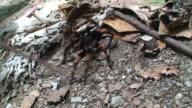 Angry orange kneed tarantula video