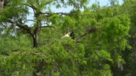 Anhinga feeding the babies in the nest. Cypress swamp, South Carolina, USA video