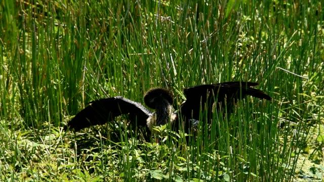 Anhinga sunning in grasses video