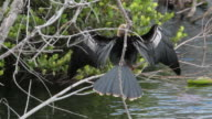 Anhinga with spread wings video
