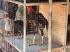 Animal Cruelty: Cock Fighting Roosters in Cages, Blood Sport video