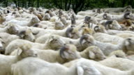 'Animals': Flock Of Sheep video