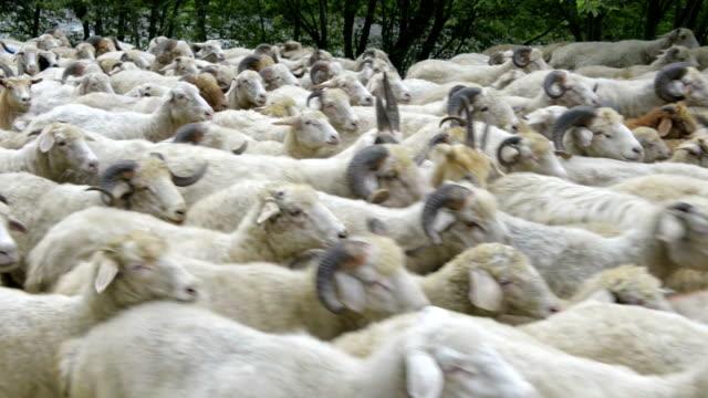 'Animals': Flock Of Sheep video