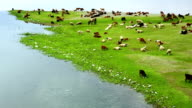 Animals grazing on river bank video