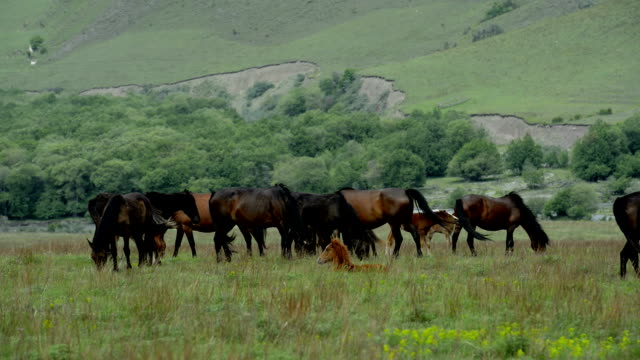 'Animals': Horses graze on the plain. video