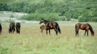 'Animals': Horses. Mare foal feeds. video