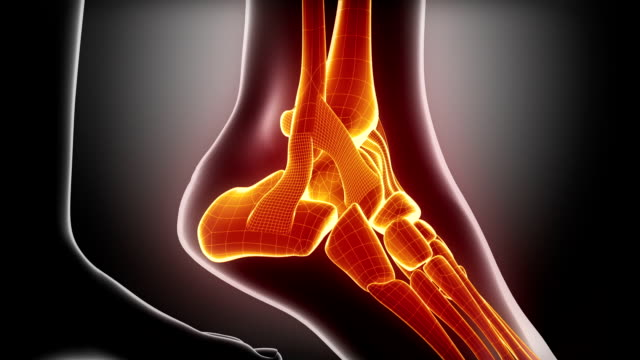 Ankle joints and bones anatomy video