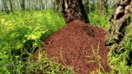 Ant colony with stump in the middle video