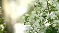 Ant Crawls on Crepe Myrtle Flower video