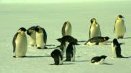 Antarctica - Emperor Penguins video