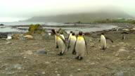 Antarctica King Penguins video
