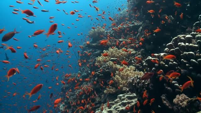 Anthia shoal reef edge Red Sea video