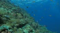 Anthias fish, schooling, coral reef, tropical sea video