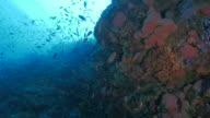 Anthias fish schooling in pink coral undersea video