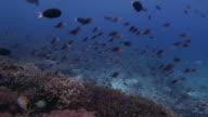 Anthias fish, surgeonfish, schooling, coral reef, Sipadan video