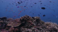 Anthias fish, surgeonfish schooling in the coral reef video