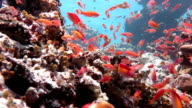 Anthias Fishes in Coral Reef video
