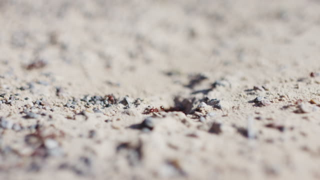 Ants are busily going about their day in and out of an ant colony in the hot deserts of America. Originally shot on Red Dragon in 6K. video