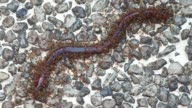 ants attack earthworm video