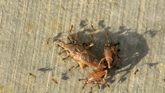 Ants carry carcass video