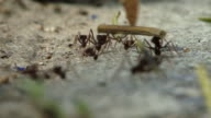 Ants Carrying Food HD 1080 video