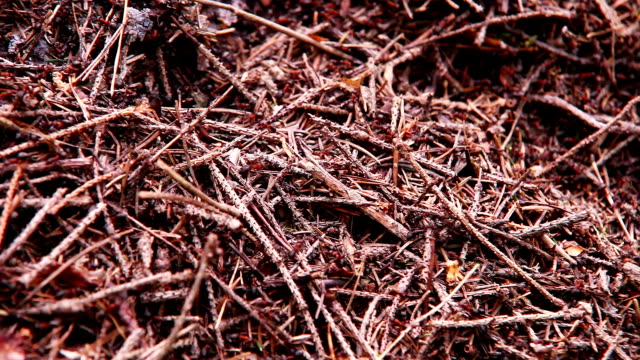 Ants colony in the forest - anthill background video