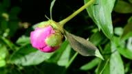 ants drink dew flower video