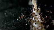 Ants Eating video