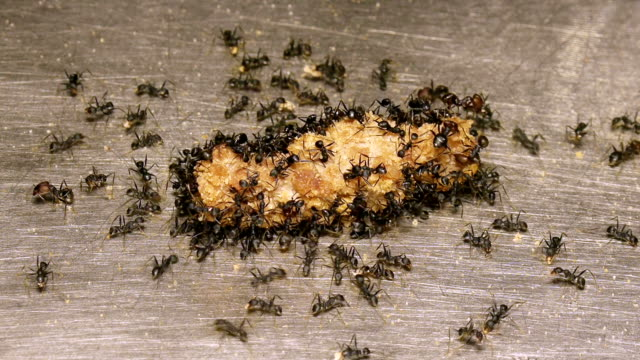Ants Feeding On Beef video