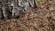 Ants in anthill in forest video
