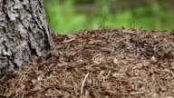 Ants in big anthill video