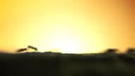 Ants sunset - HD, NTSC video