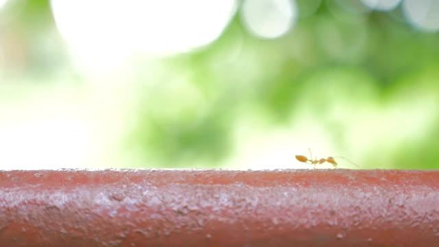 Ants walking video