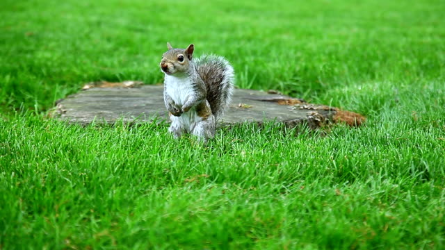 Anxious Gray Squirrel on the green glade video