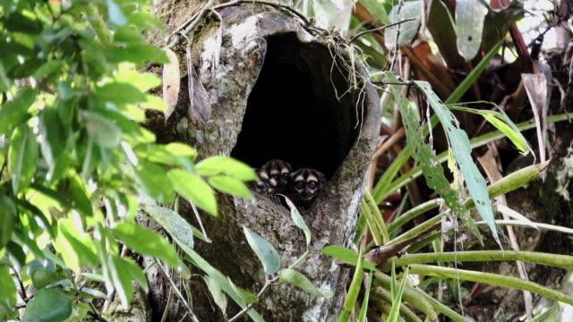 Aotus vociferans In The Tree Hole video