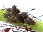 aphid video