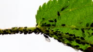 Aphids on nettle video