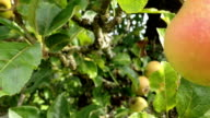 Aplle Tree Orchard. video