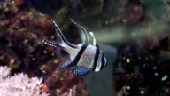 Apogon fish in Aquarium video