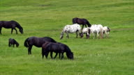 Appaloosa and black horses feeding in an alpine pasture video
