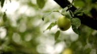 Apple after rain video